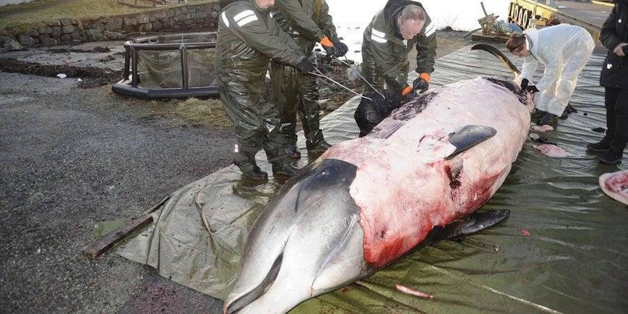 Whale Dead Plastic Bags
