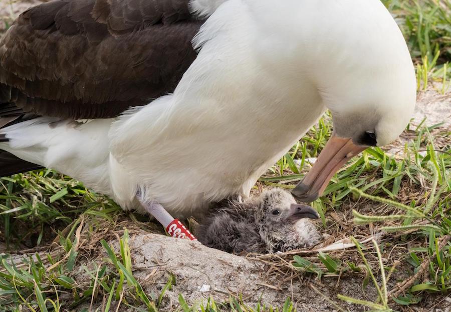 Wisdom Laysan Albatross Baby Big