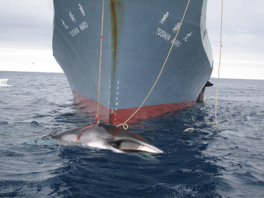 Japanese Whaling Expedition