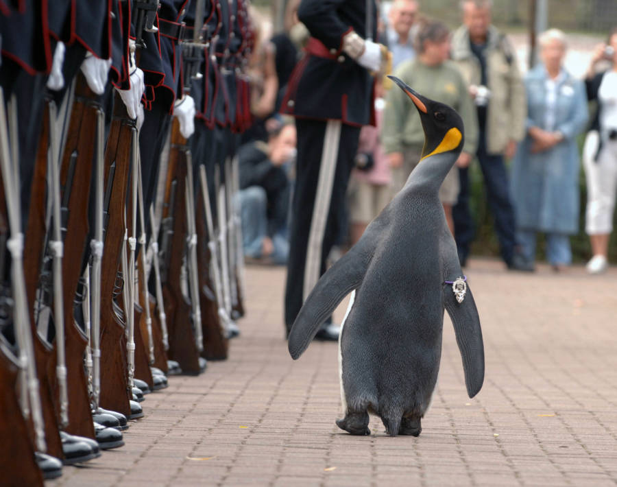 Nils Olav Kings Guard Norway Knighthood Edinburgh Zoo Scotland