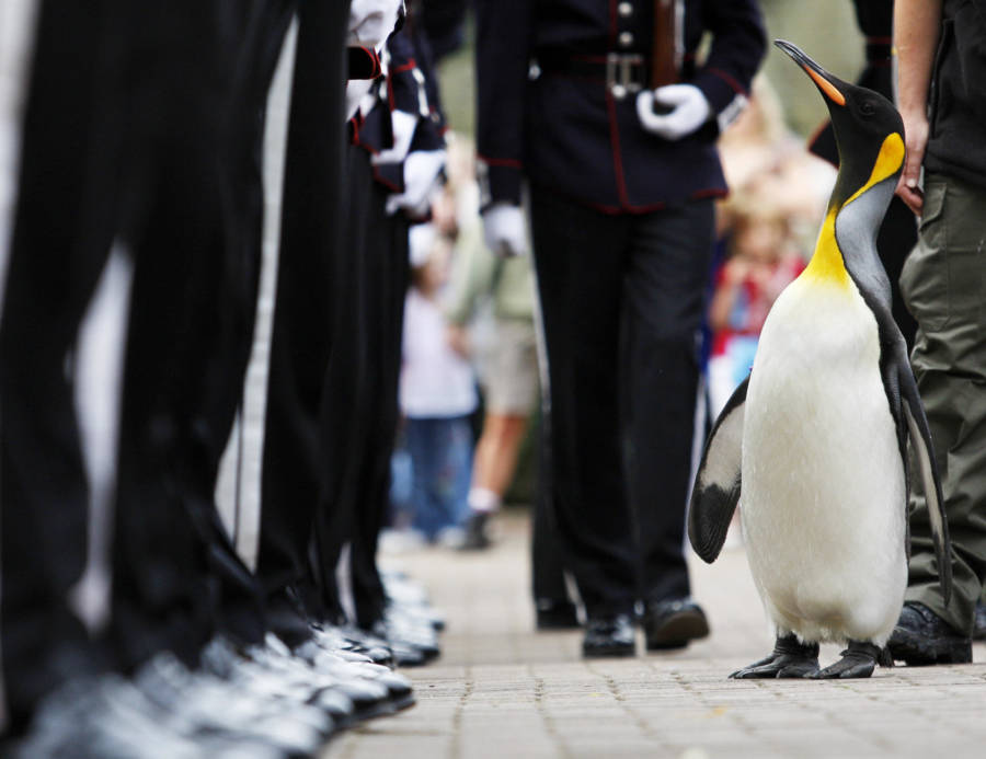 Penguin In Norway's King Guard