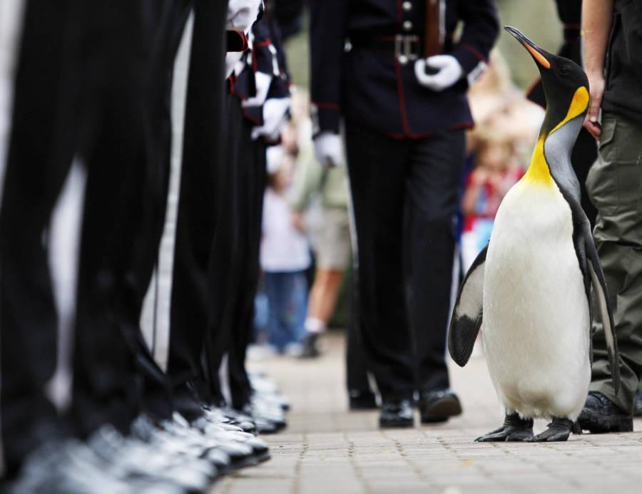 Penguin In Norway's King Guard