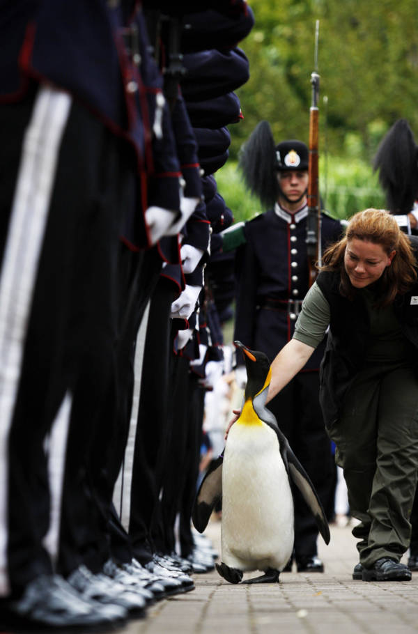 Penguin Kings Guard Norway Scotland