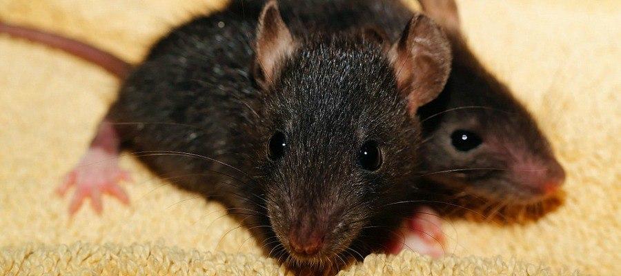 Rats Behavorial Epigenetics Grandmas Memories