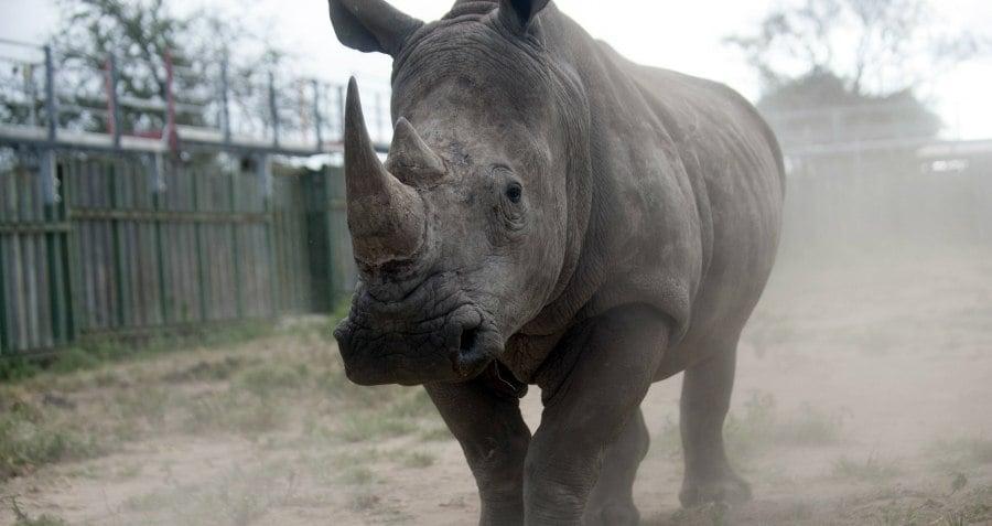 Rhino South Africa Og