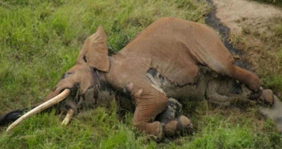 Satao II Elephant