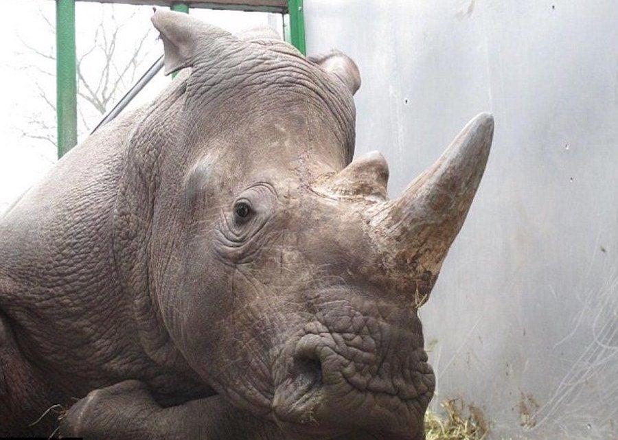 Vince The Rhino Paris Zoo