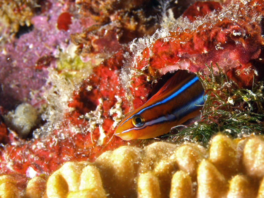 Fangblenny Photograph