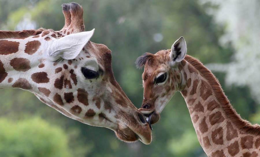 Giraffes Extinction