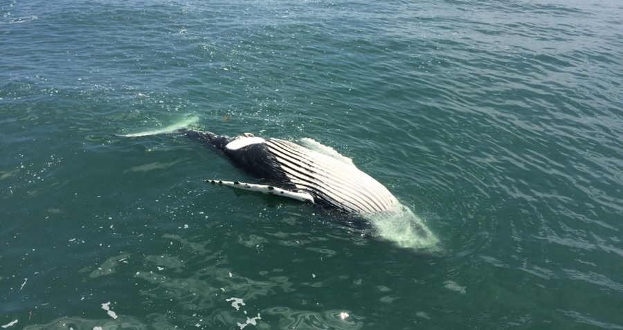Dead Humpback Whale