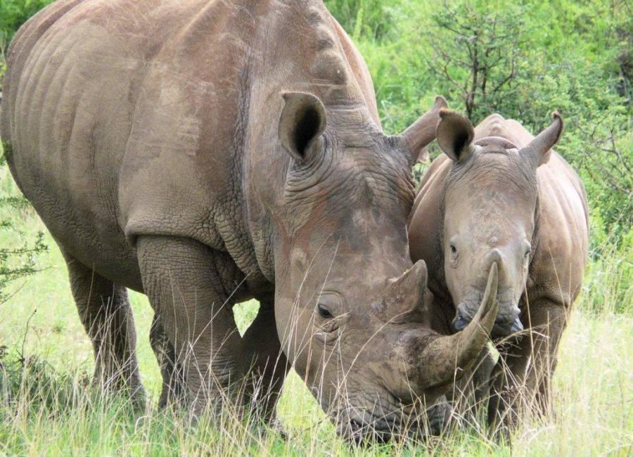 Mom Wutg Baby Rhino