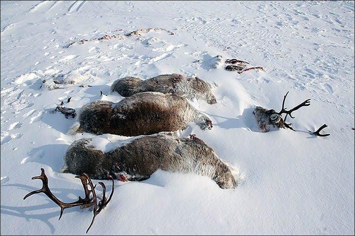 Reindeer Snow