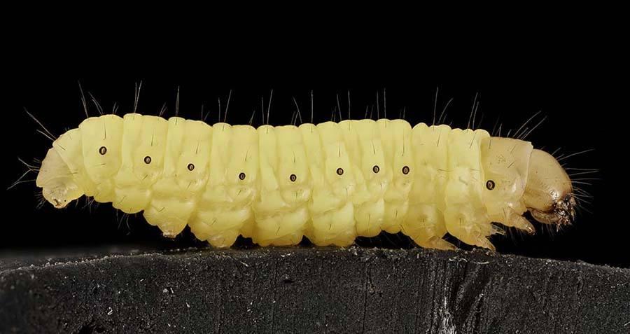 Waxworm