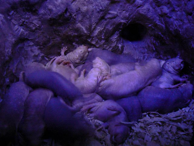 Colony Naked Mole Rats Oxygen Deprived Fructose