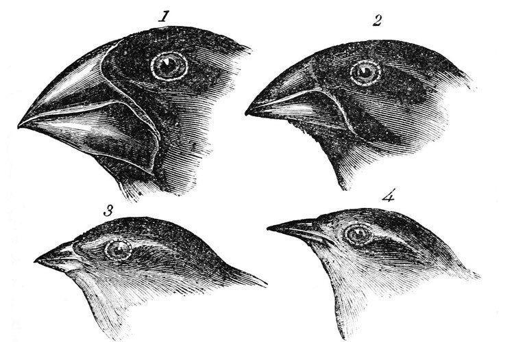 Darwin Finches Heads