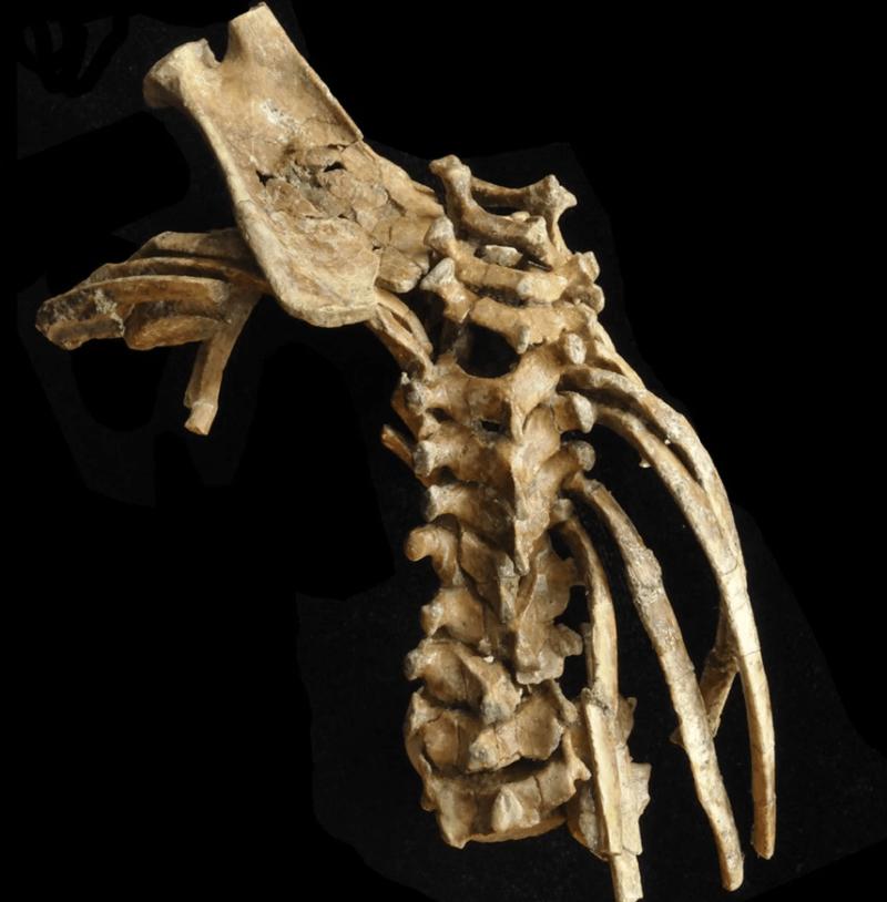 Hominin Spine