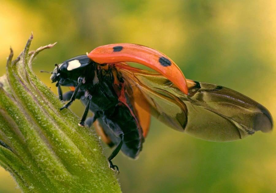 Ladybug Folding Wing Og