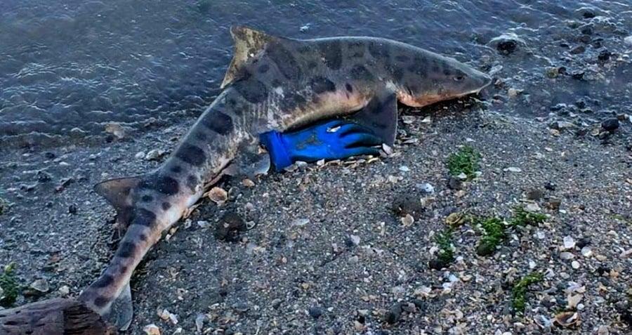 Leopard Shark Washed Up