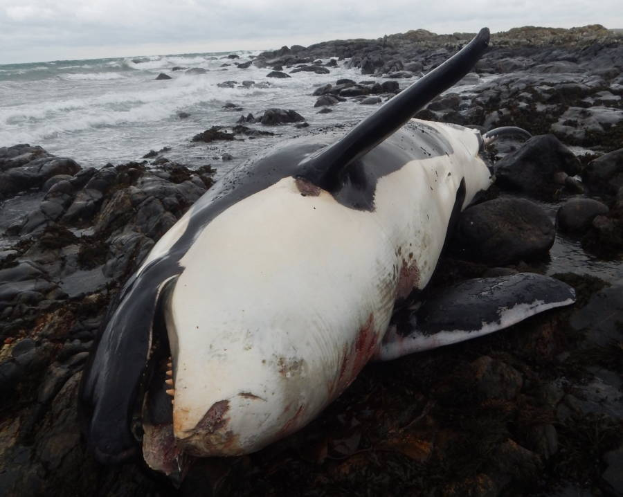 Lulu Killer Whale