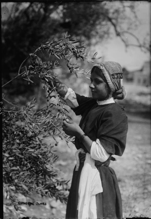 Maiden Picking Olives