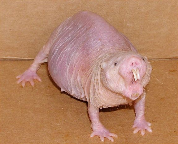 Naked Mole Rat Body Mouth Open