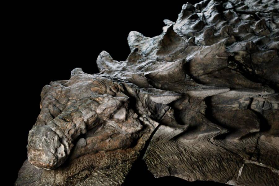 nodosaur-fossil.jpg