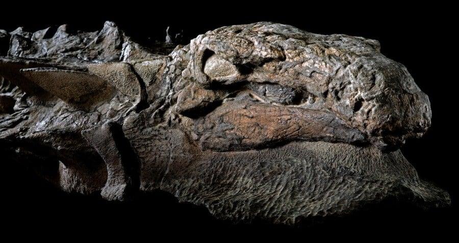 nodosaur-head.jpg