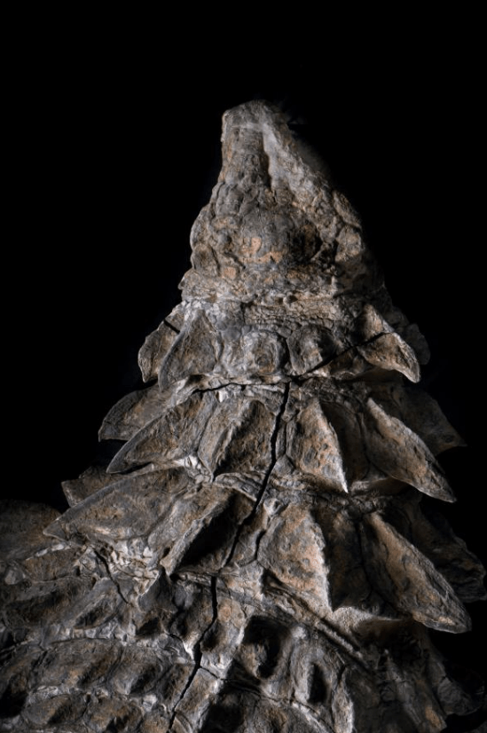 Nodosaur Dinosaur Mummy