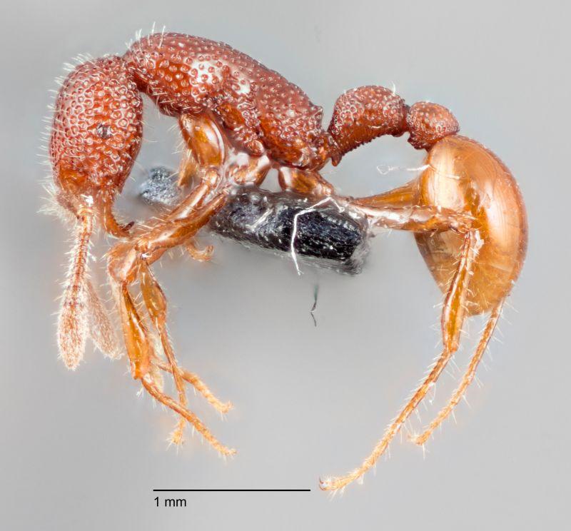 T Rex Ant