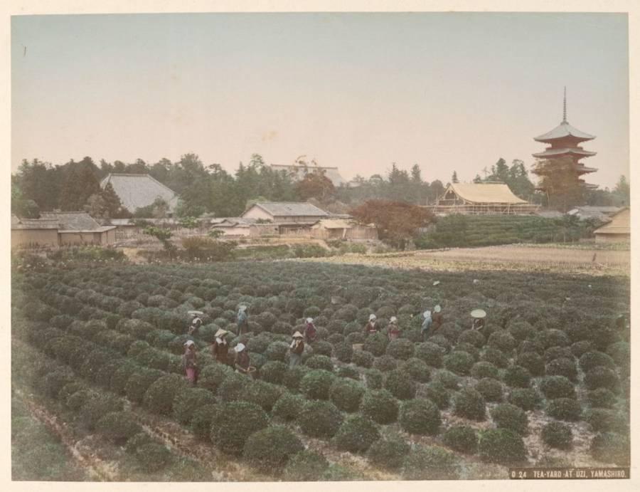 Tea Yard At Uzi
