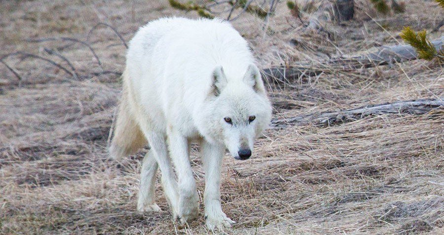 White Wolf Getty