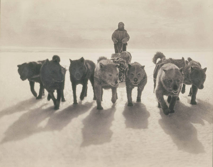 Antarctic Exploration Huskies