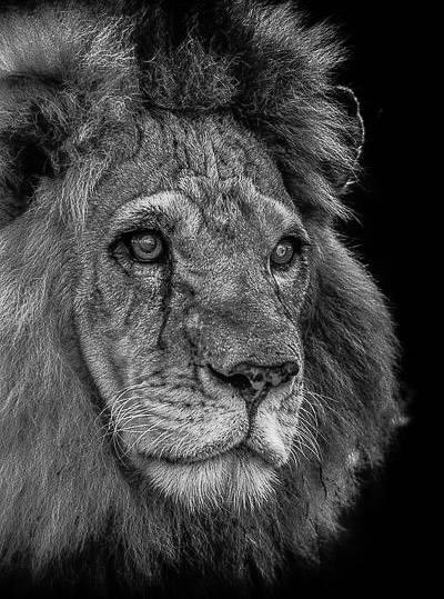 Circus Lion Killed