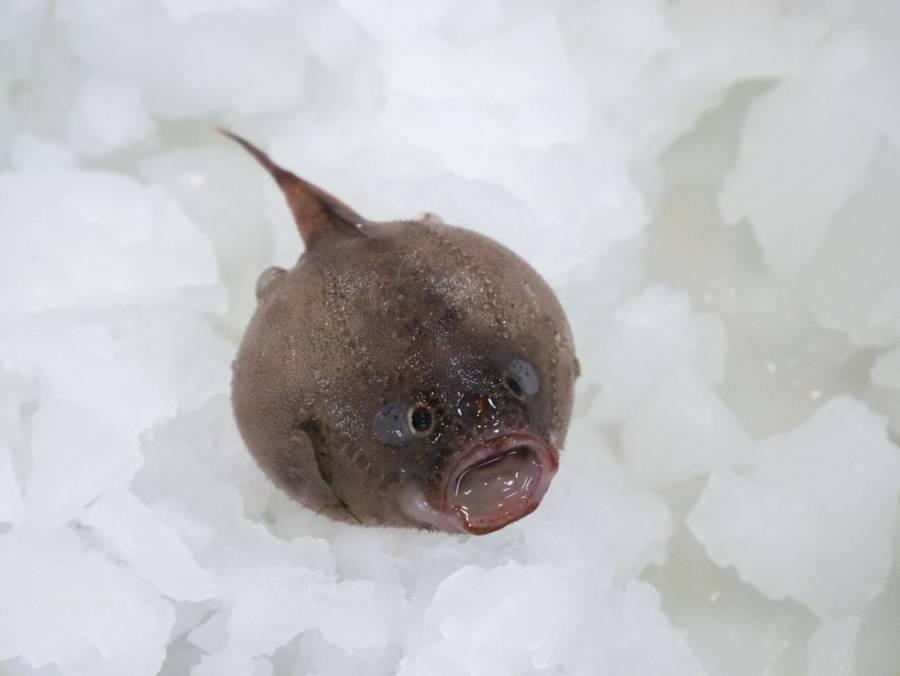 Coffin Fish