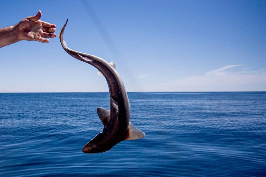 Dogfish Shark