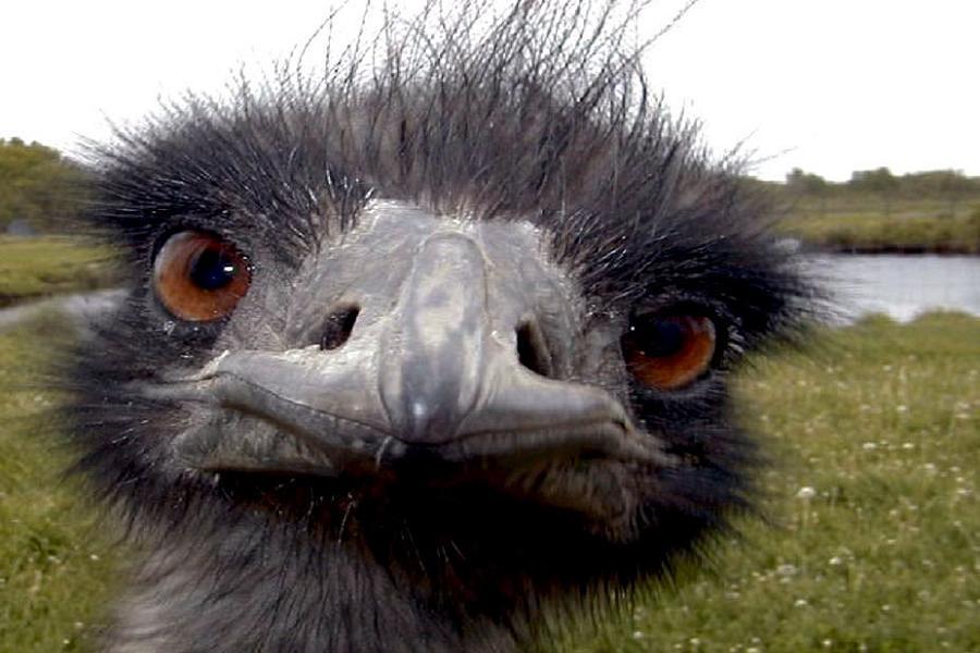 Emu War Emu Face