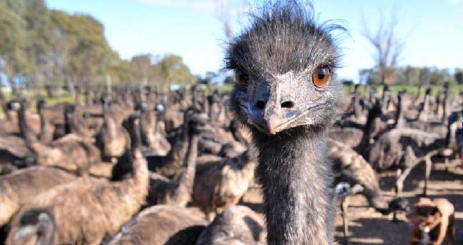 Smirking Emu