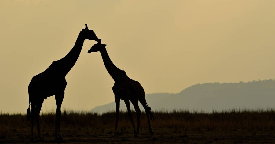 Giraffe Photo