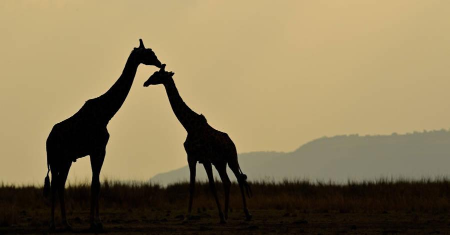 Giraffe Sky
