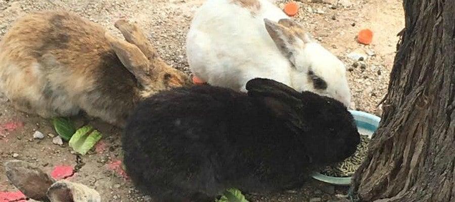Group Bunnies Feral Las Vegas Volunteer