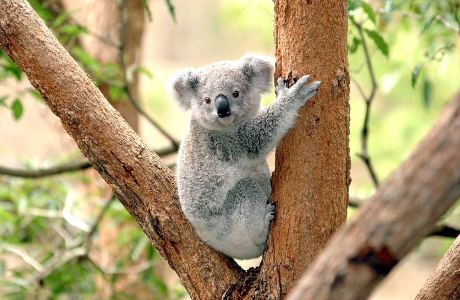 Koalas population rapidly declining in australia due to - Koala components ...