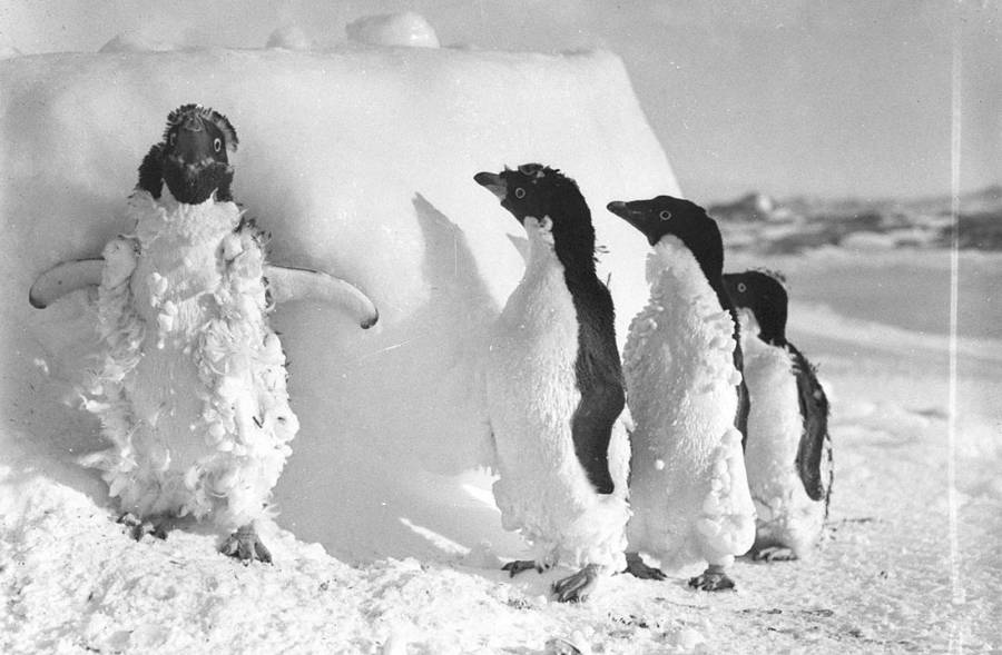 Penguins After A Blizzard
