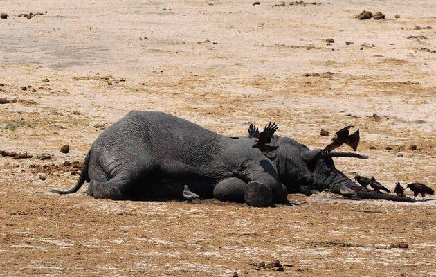 Poisoned Elephant