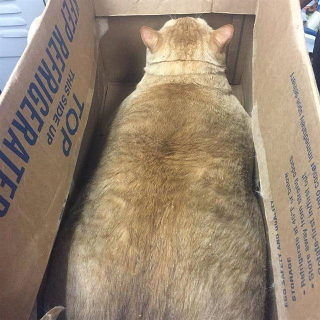 Really Fat Cat In A Box