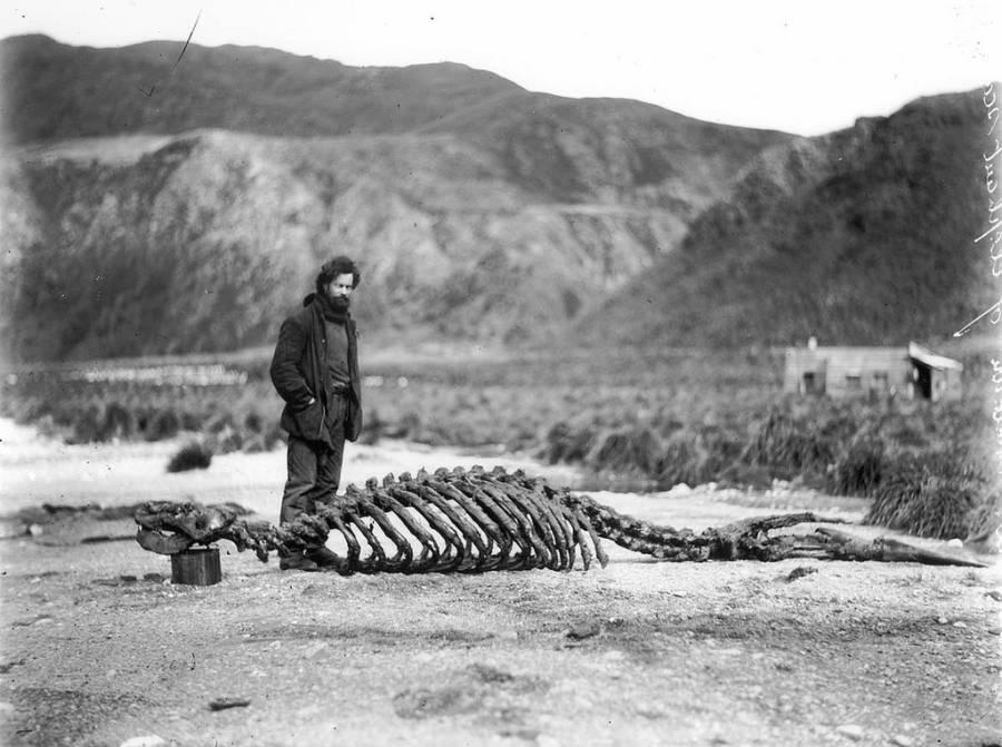 Sea Elephant Skeleton