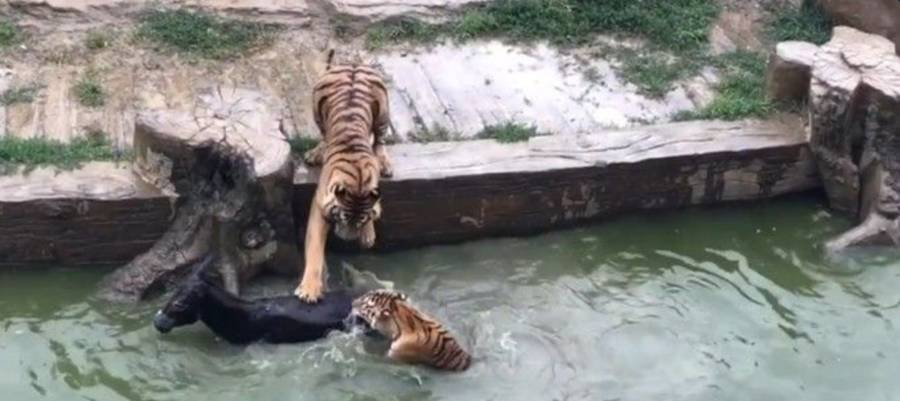 Tigers Eat Donkey China