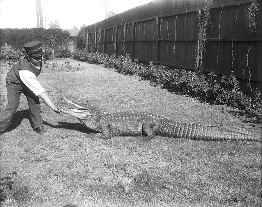 Alligator Chin Scratch