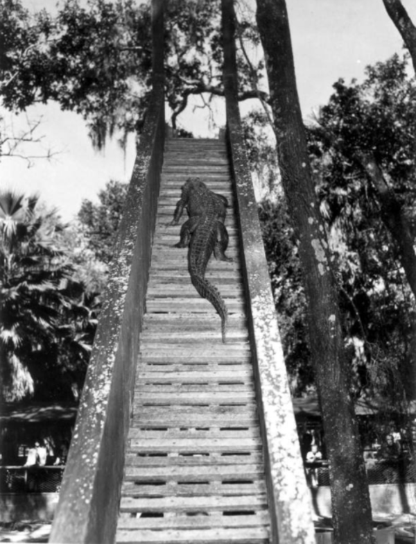 Alligator Going Up Stairs