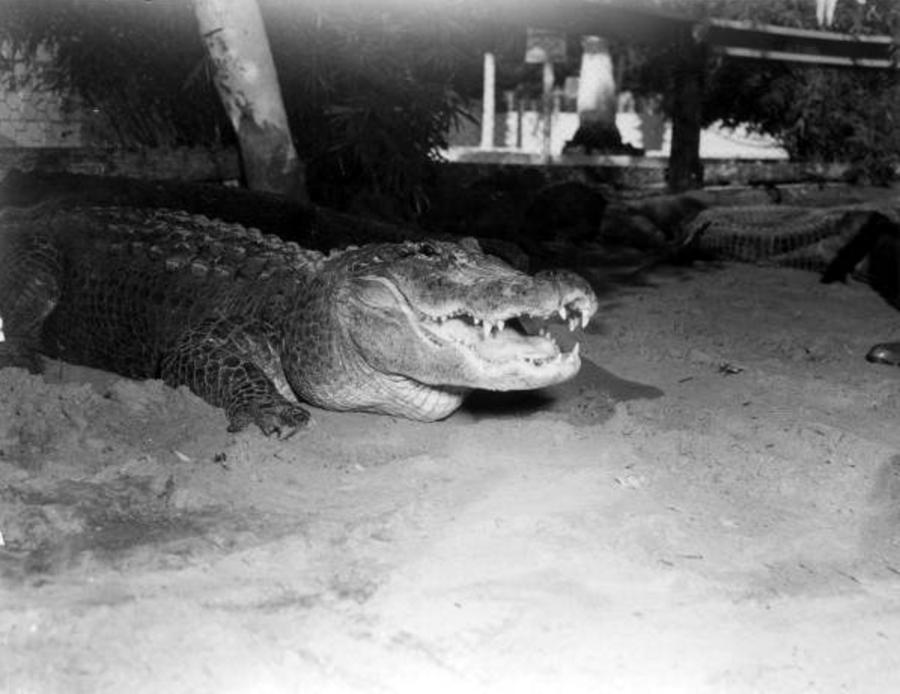 Alligator In Alligator Farm