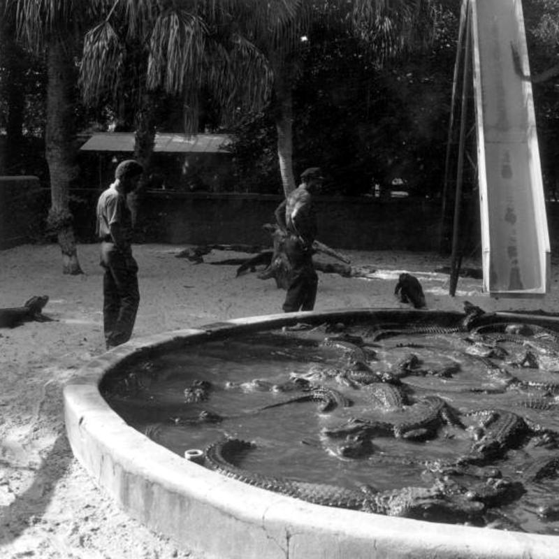 Alligator Trainers Looking At Alligators